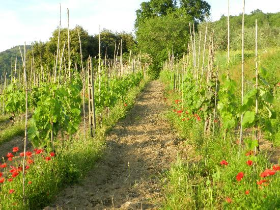 Agriturismo La Gioconda: vineyards on the back of property by BBQ area