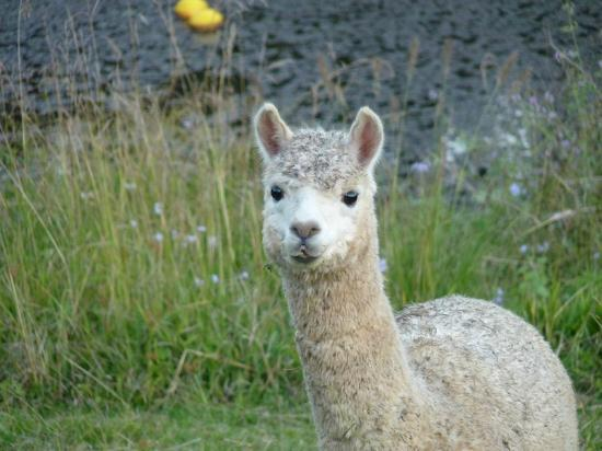 Blue Summit Cottages: Alpaca