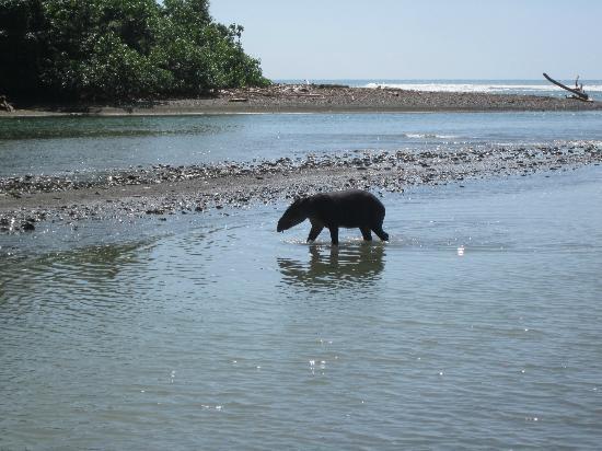 Rio Drake Farm : corcovado park - tapir