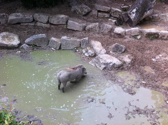 Kronberg im Taunus, Tyskland: Schwein im Opel Zoo