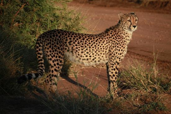 Tshukudu Bush Lodge: Dumbee, the resident cheetah