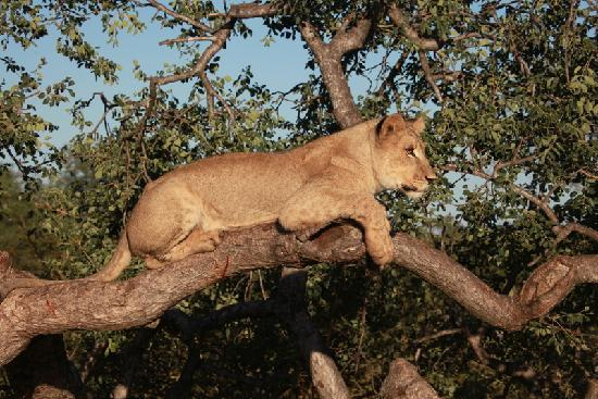 Tshukudu Bush Lodge: Walking with lions