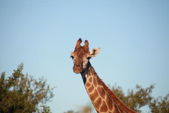Tshukudu Bush Lodge: Giraffe