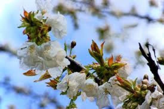 Hostal Yuste: Flor del cerezo