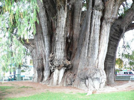 Tule Tree: volume of trunk