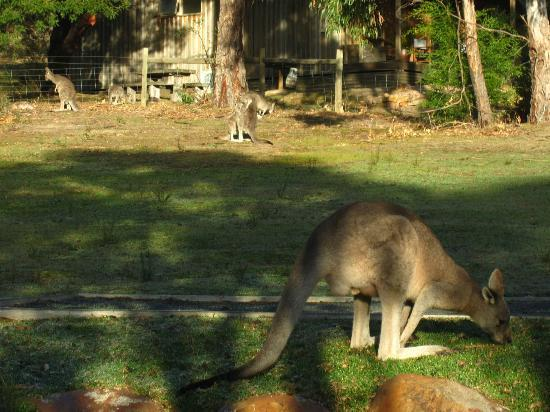 D'Altons Resort: kangaroos on the lawn in front of the cottages