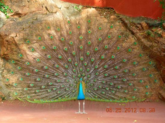 The Gateway Hotel Pasumalai Madurai : peacock dancing