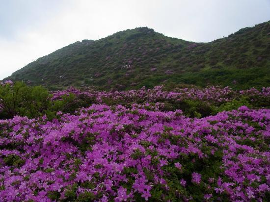 Suisenkyo: 仙酔峡のミヤマキリシマ