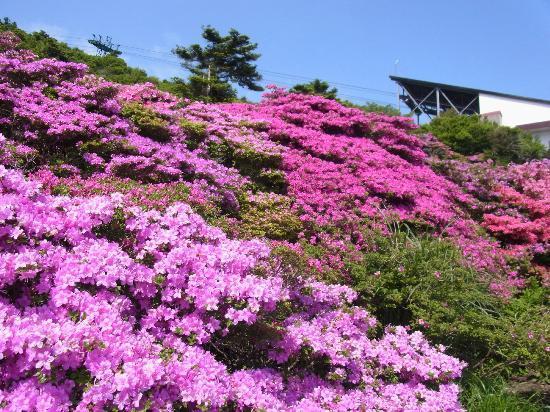 Unzen, Jepang: 仁田峠のミヤマキリシマ