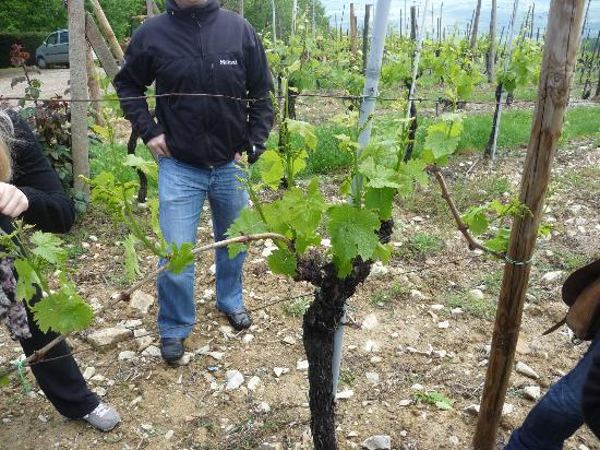 Tuscan Wine Tours with Angie : Vignes