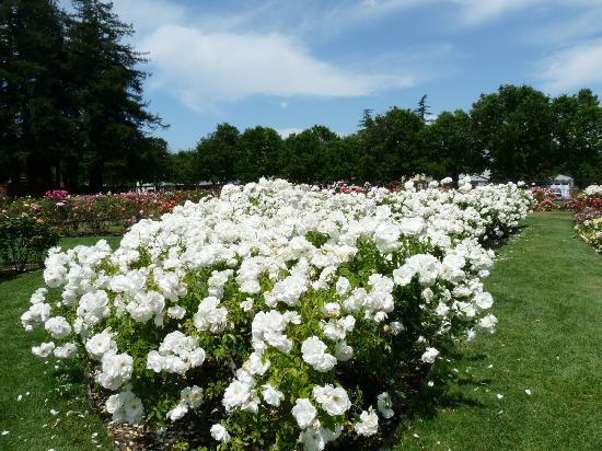 Beautiful White Roses Picture Of Municipal Rose Garden San Jose
