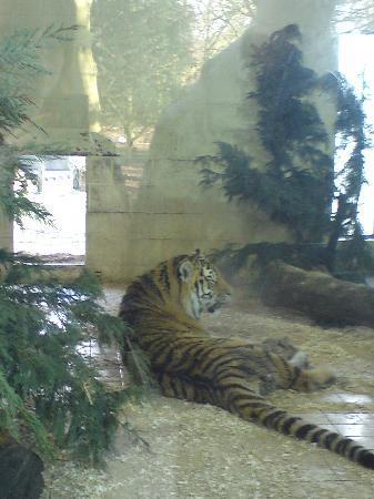 Banham, UK: Tiger!
