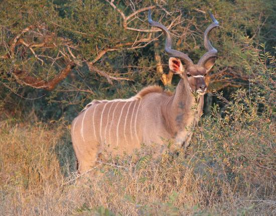 Kambaku Safari Lodge: Kudu