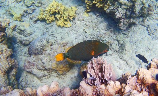 Chumbe Island Coral Park: trigger fish