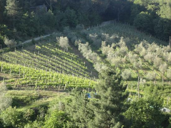 Poggio all'Olmo: Poggio's wine and olive fields.