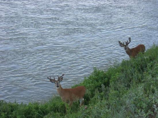 Fish Creek Provincial Park: Deer along the Bow River