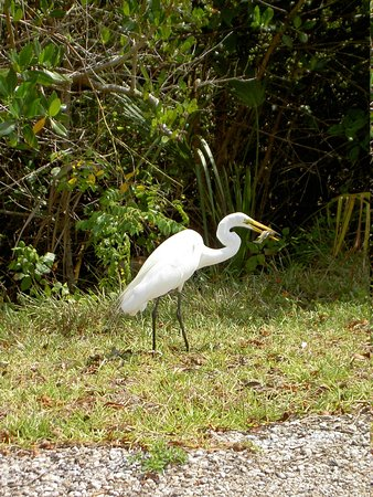 West-End Paradise : great white heron - Ding Darling