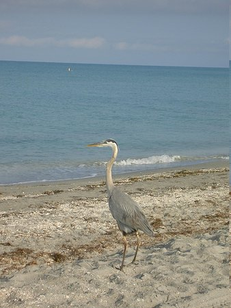 West-End Paradise: great blue heron at nearby beach