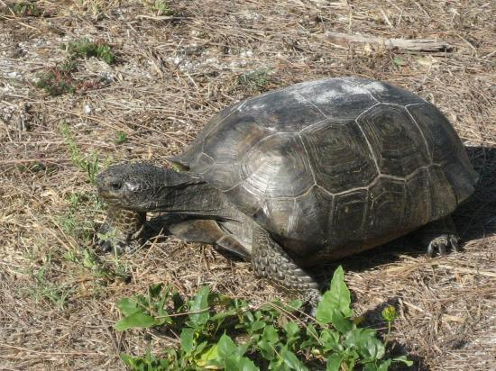 West-End Paradise: tortoise on the neighborhood's beach