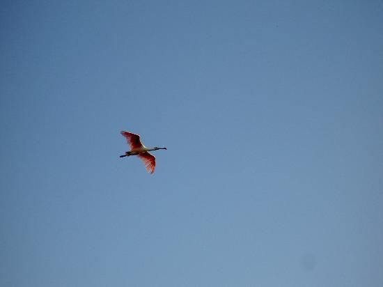West-End Paradise : spoonbill at Ding Darling