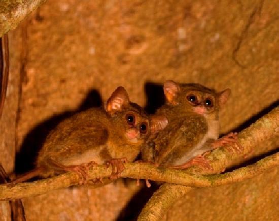 Manado Safari Tours - Private Day Tours: Two Tarsiers