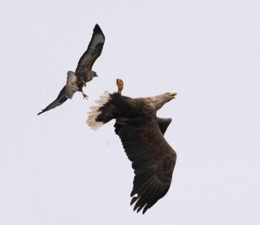 Mull Charters: White-Tailed Sea Eagle mobbed by a Buzzard
