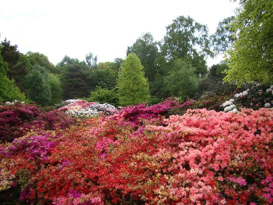 Richmond-upon-Thames, UK : The blaze of colorful azaleas & rhododendrons