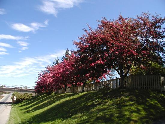 Black Walnut Manor: Property crab apple trees in bloom