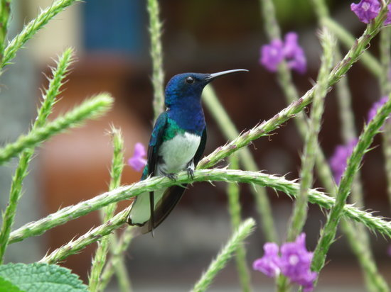 Arenal Observatory Lodge & Spa: One of the many species of Hummingbirds you can find at Arenal Observatory Lodge