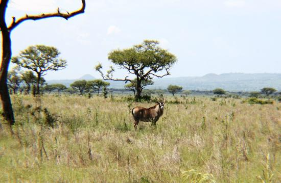 Provinz Nyanza, Kenia: Roan Antelope is only found in Ruma out of all other parks in Kenya