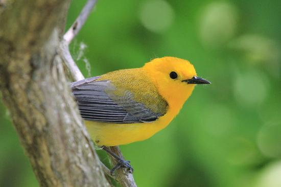 Magee Marsh Wildlife Area: prothonotary warbler