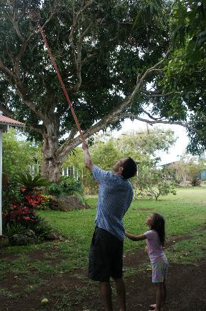 Puakea Ranch: Gathering mangoes
