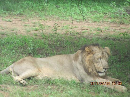Junagadh, Индия: male lion