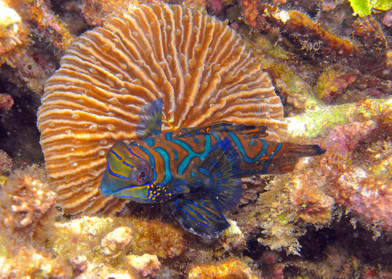 Kungkungan Bay Resort: Mandarin Fish