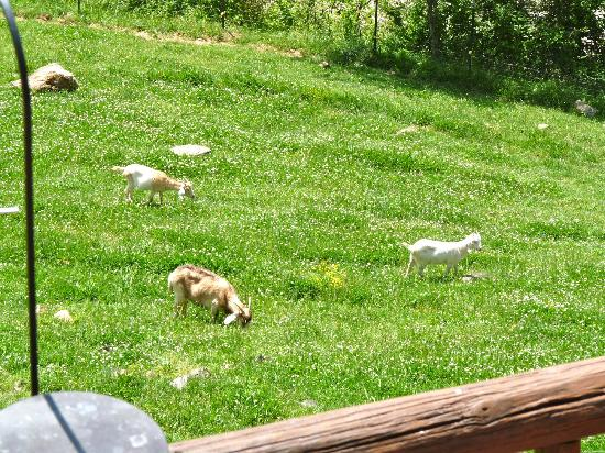 Wildberry Lodge: The goats which mow the yard and pretty much the only