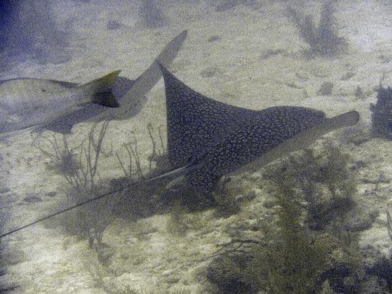 Maya Palms Resort & Dive Center: pair of eagle rays around 70ft down