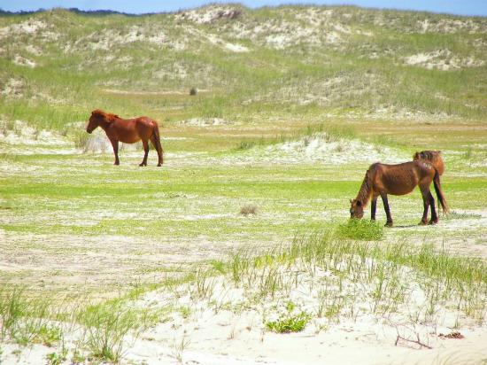 Shackleford Wild Horse & Shelling Safari: Wild  horses