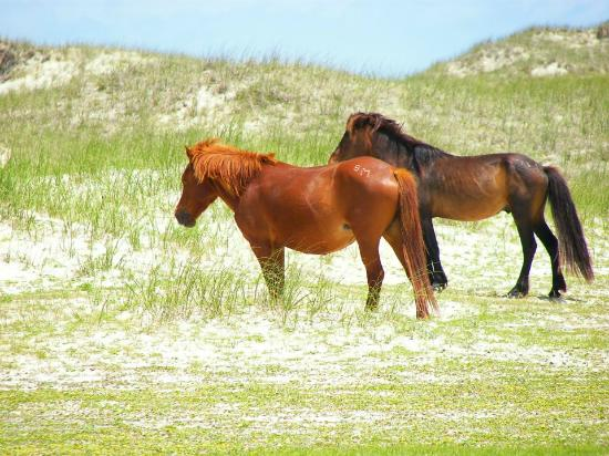 Shackleford Wild Horse & Shelling Safari: 2 wild horses