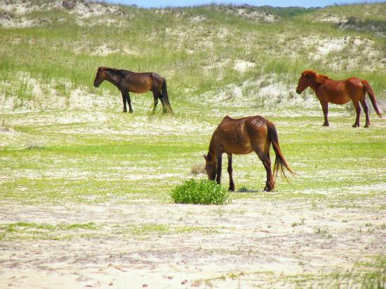 Shackleford Wild Horse & Shelling Safari: More wild horses