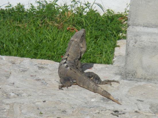 Hotel Dos Playas Beach House: Каждое утро приходит в гости игуана