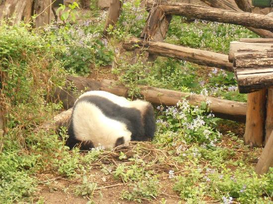 Beijing Zoo: PANDA EN EL JARDIN
