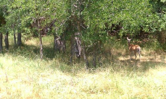 White Bluff Resort: One of numerous deer!