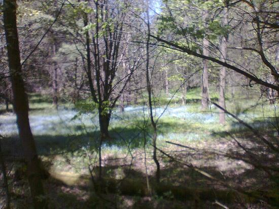 The Bruce Trail: beds of 'forget me nots'