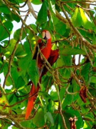 Aventuras Tropicales Golfo Dulce: Scarlet Macaws are BIG