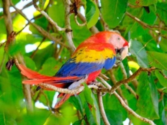 Aventuras Tropicales Golfo Dulce: Scarlet Macaw eating almonds