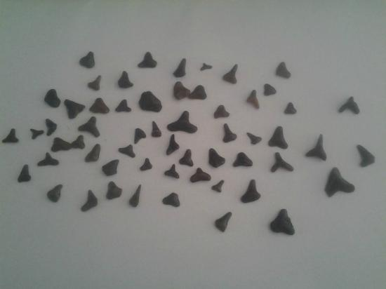 Pearl Beach Inn: Shark teeth!!