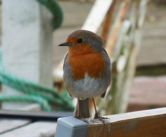 The Red Lion Inn: The Red Lion's very own Robin Redbreast!