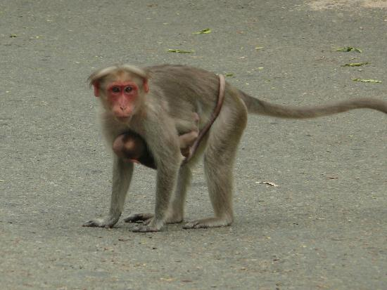 Chinnar Wildlife Sanctuary: Bonnet macaque