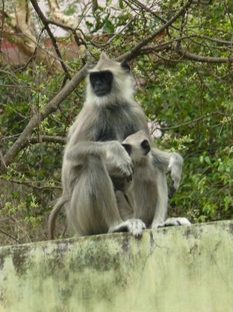 Chinnar Wildlife Sanctuary: Hanuman langur