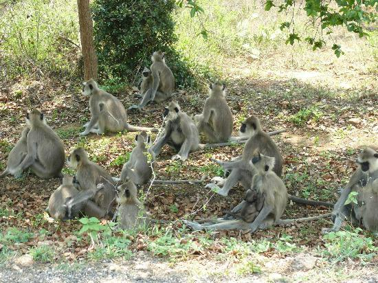 Chinnar Wildlife Sanctuary: Family of common langurs